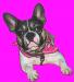 Design - Französische Bulldogge Bolzplatzrocker Nele pink - by Bolzplatzrocker, read more about this textile design